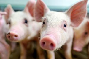 Ratusan Babi di Sikka Mati Diserang Flu Babi Afrika